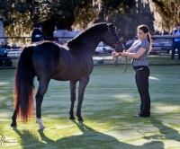 Reg. Imported Welsh Pony  welsh-pony  Drafts Pony Stallion for Stud in Fl