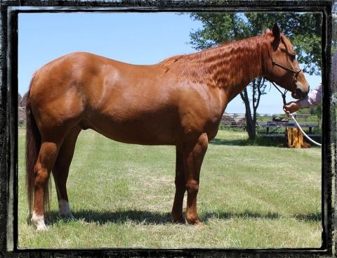 Peptos Hot Pepper ~ '12 APHA Solid Gelding~ REDUCED $4,500 ...