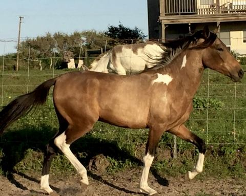 mangalarga-marchador    Big Hair Gaited Baroque Horse for Sale in Texas