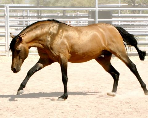 mangalarga-marchador    Big Hair Gaited Baroque Stallion for Stud in Arizona