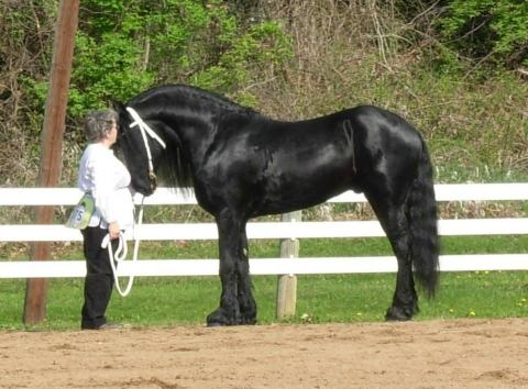 friesian    Big Hair Drafts Baroque Horse for Sale in Ohio