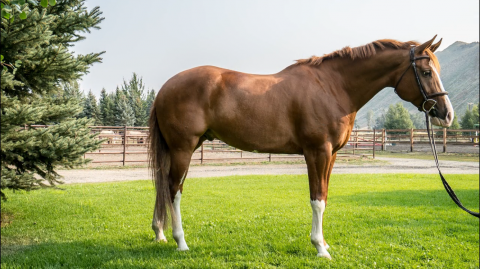 aqha-quarter-horse    Quarter Horse Horse for Sale in Idaho