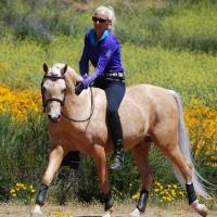 welsh-pony    Drafts Pony Stallion for Stud in Wyoming