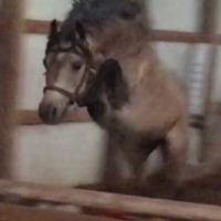 canadian-sport-horse    Warmblood Horse for Lease in Massachusetts