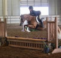 welsh-pony   dutch-warmblood Drafts Pony Warmblood Horse for Lease in Michigan