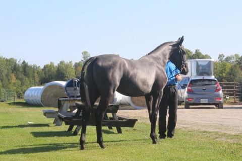 canadian-sport-horse    Warmblood Horse for Sale in Ontario
