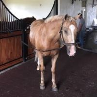 welsh-pony   aqha-quarter-horse Pony Quarter Horse Horse for Lease in Florida