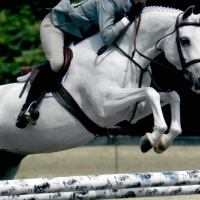 welsh-pony    Drafts Pony Horse for Lease in CT