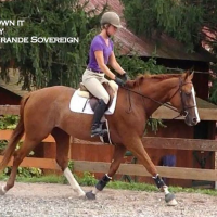 oldenburg   rheinland-pfalz-saar Warmblood Warmblood Stallion for Stud in Pennsylvania