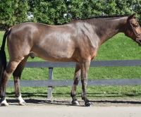 dutch-warmblood    Warmblood Horse for Lease in California
