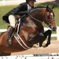 dutch-warmblood    Warmblood Stallion for Stud in Maryland