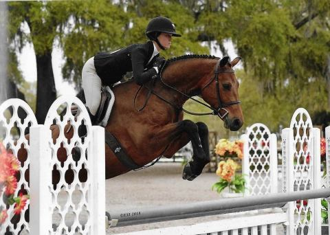 dutch-warmblood    Warmblood Horse for Sale in Ontario