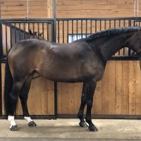 hanoverian    Warmblood Horse for Lease in Quebec