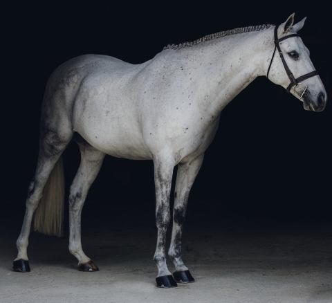 welsh-pony    Drafts Pony Horse for Sale in Wisconsin