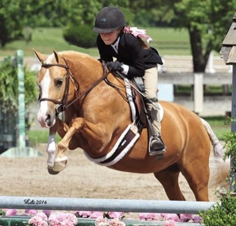 welsh-pony    Drafts Pony Horse for Sale in Washington