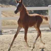 american-sport-pony    Pony Stallion for Stud in California
