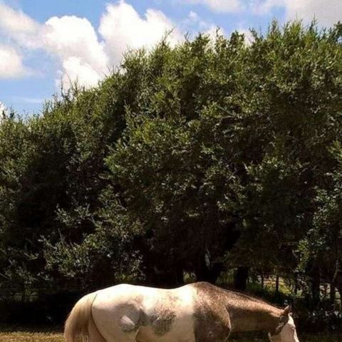 appaloosa    Colors and Spots Stallion for Stud in Oregon