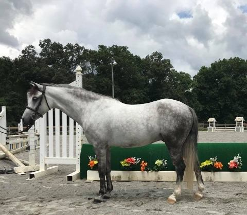 welsh-pony    Drafts Pony Horse for Sale in Tennessee
