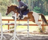 quarter-pony    Pony Quarter Horse Horse for Lease in California