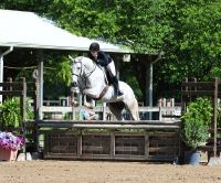 dutch-warmblood    Warmblood Horse for Lease in Florida