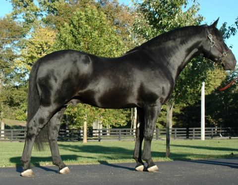 irish-draught    Drafts Stallion for Stud in Kentucky