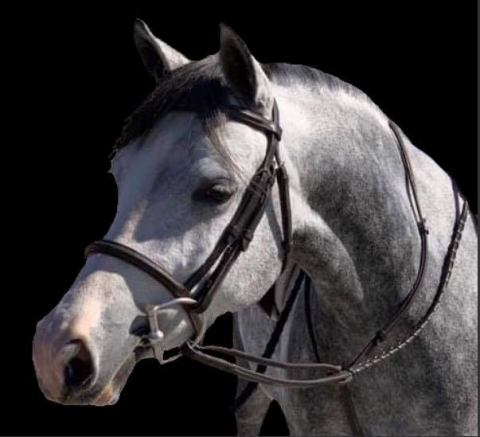 welsh-pony    Drafts Pony Horse for Sale in North Carolina