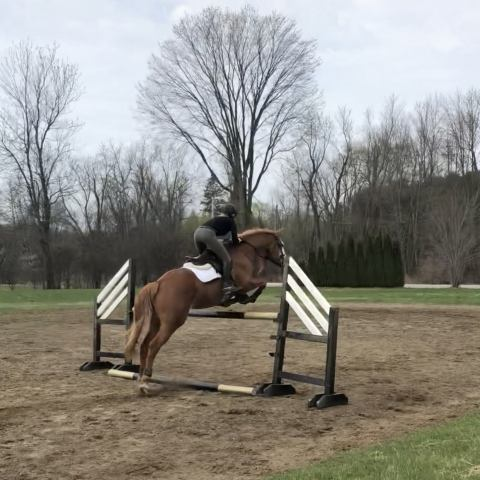 canadian-warmblood   selle-francais Warmblood Warmblood Horse for Sale in Ontario