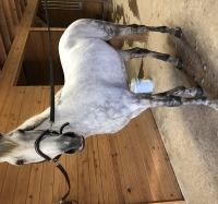 czech-warmblood    Rare and Exotic Warmblood Horse for Lease in Virginia