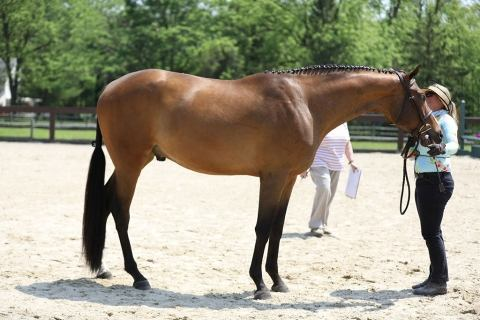 thoroughbred    Thoroughbred Horse for Sale in PENNSYLVANIA