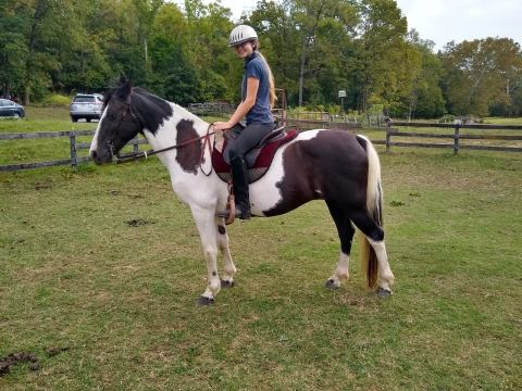tennessee-walker    Drafts Horse for Sale in Virginia