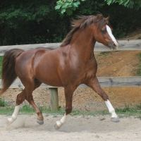 welsh-pony    Drafts Pony Stallion for Stud in VA