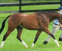 welsh-pony    Drafts Pony Stallion for Stud in Virginia