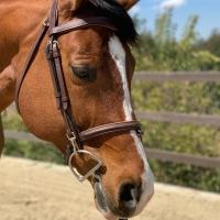 hanoverian    Warmblood Horse for Lease in CA