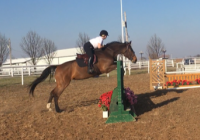 holsteiner    Warmblood Horse for Lease in Oklahoma