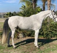 Warmblood    Horse for Lease in CA