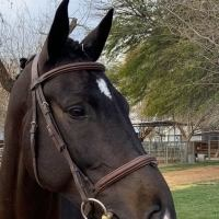 american-warmblood    Warmblood Horse for Lease in CA