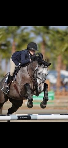 oldenburg    Warmblood Horse for Sale in California