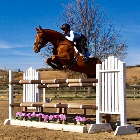 belgian-warmblood    Warmblood Horse for Sale in california