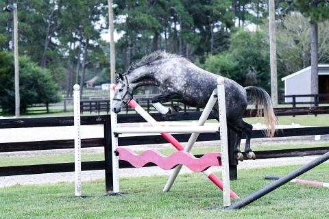 welsh-pony    Drafts Pony Horse for Sale in NC