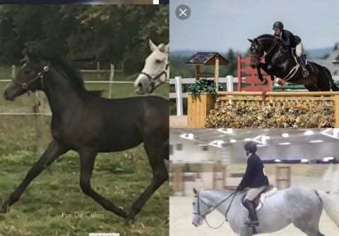 canadian-warmblood    Warmblood Horse for Sale in Ontario