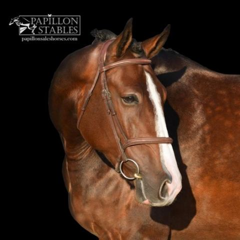 holsteiner    Warmblood Horse for Sale in CA