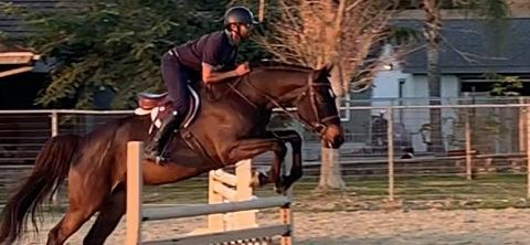 german-warmblood    Warmblood Horse for Sale in CA