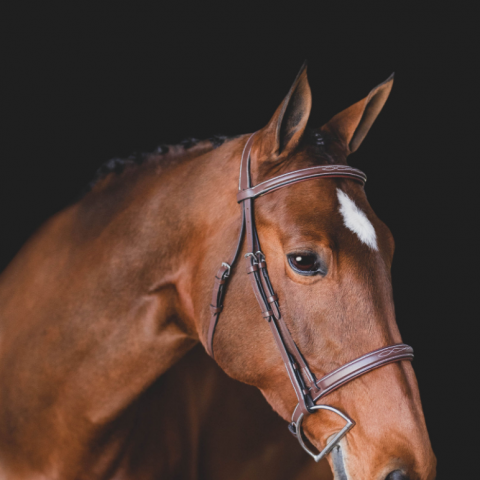 holsteiner    Warmblood Horse for Sale in California