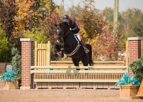 hanoverian    Warmblood Horse for Sale in Ontario