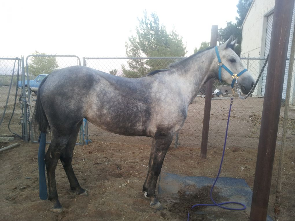 Dapple Grey Horses for Sale  Horsemart