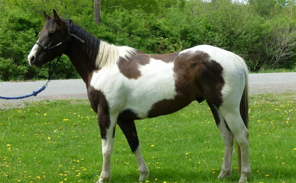 gentle black and white paint horses for sale epona